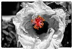 Hibiscus Selective Color