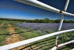 Bluebonnets fence